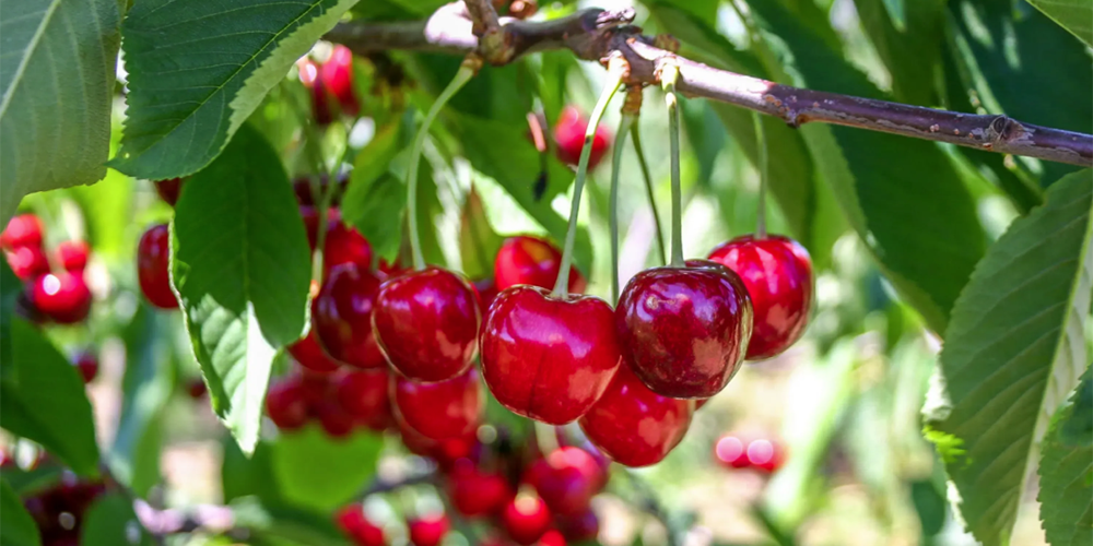 Growwing Cherries
