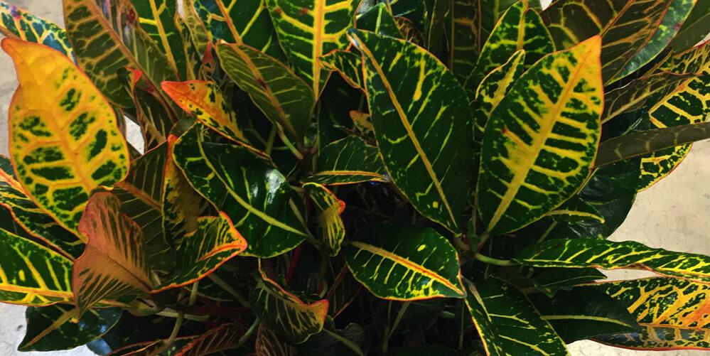 Growing Croton