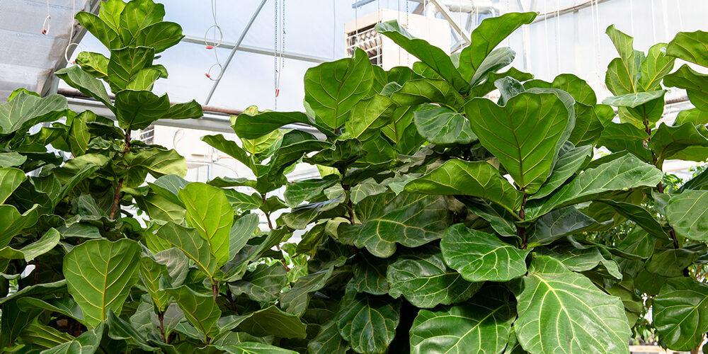 Growing Fiddle Leaf Fig Trees