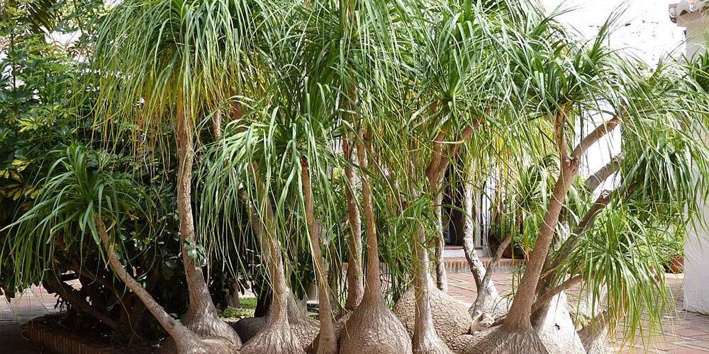 Growing Ponytail Palms