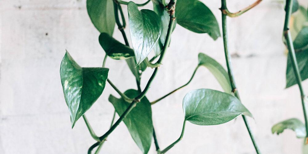 Growing Pothos