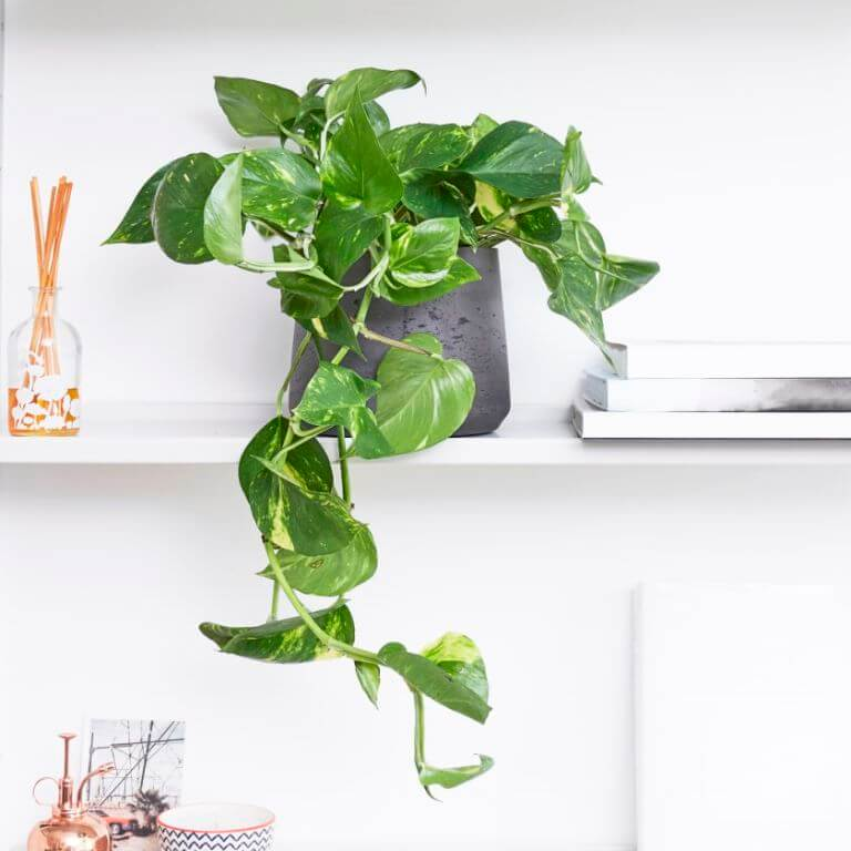 Different Money Plants for Your Home
