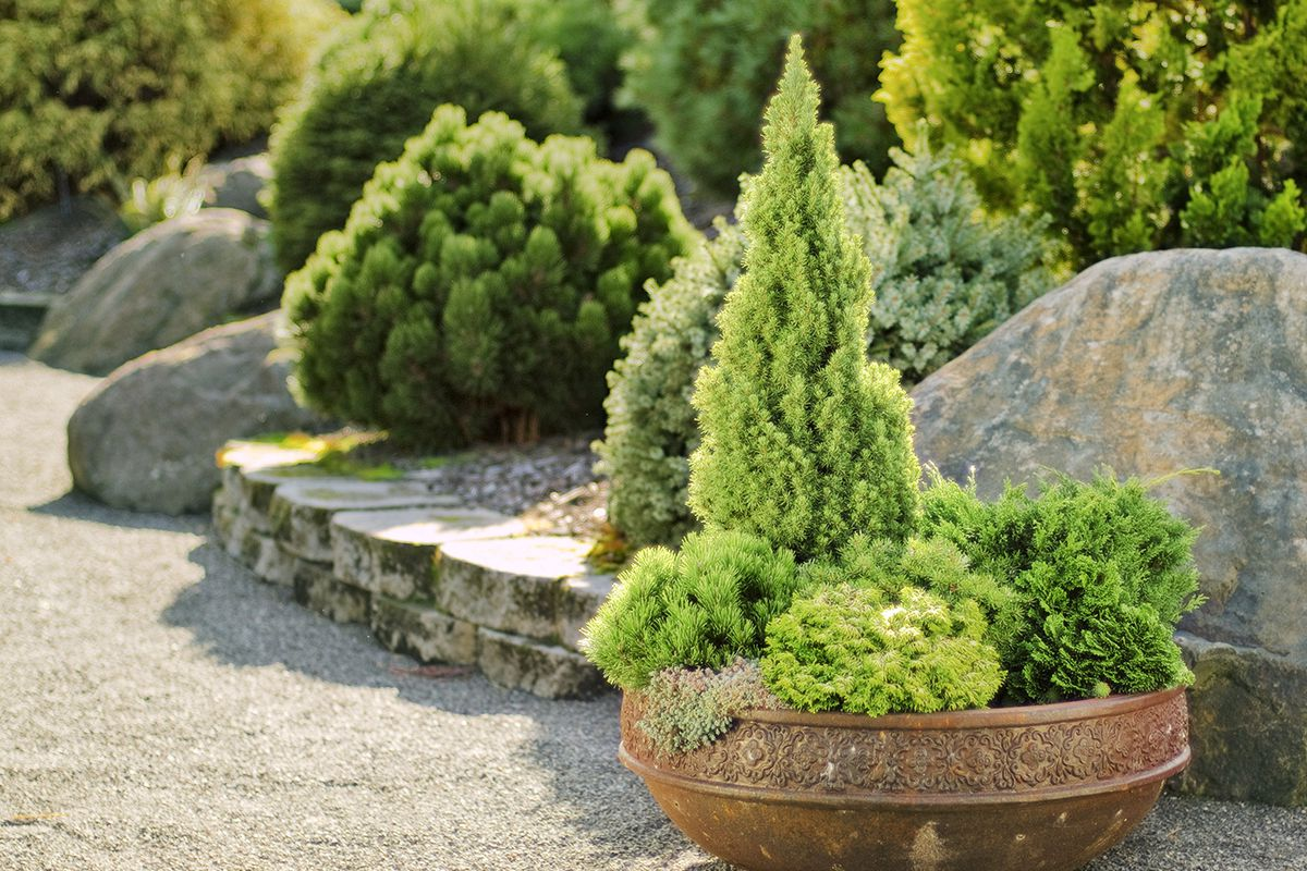 How to Prune Evergreens