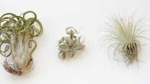 From left to right: Tillandsia caput-medusae, T. streptophylla hybrid, T. magnusiana (Caitlin Atkinson)