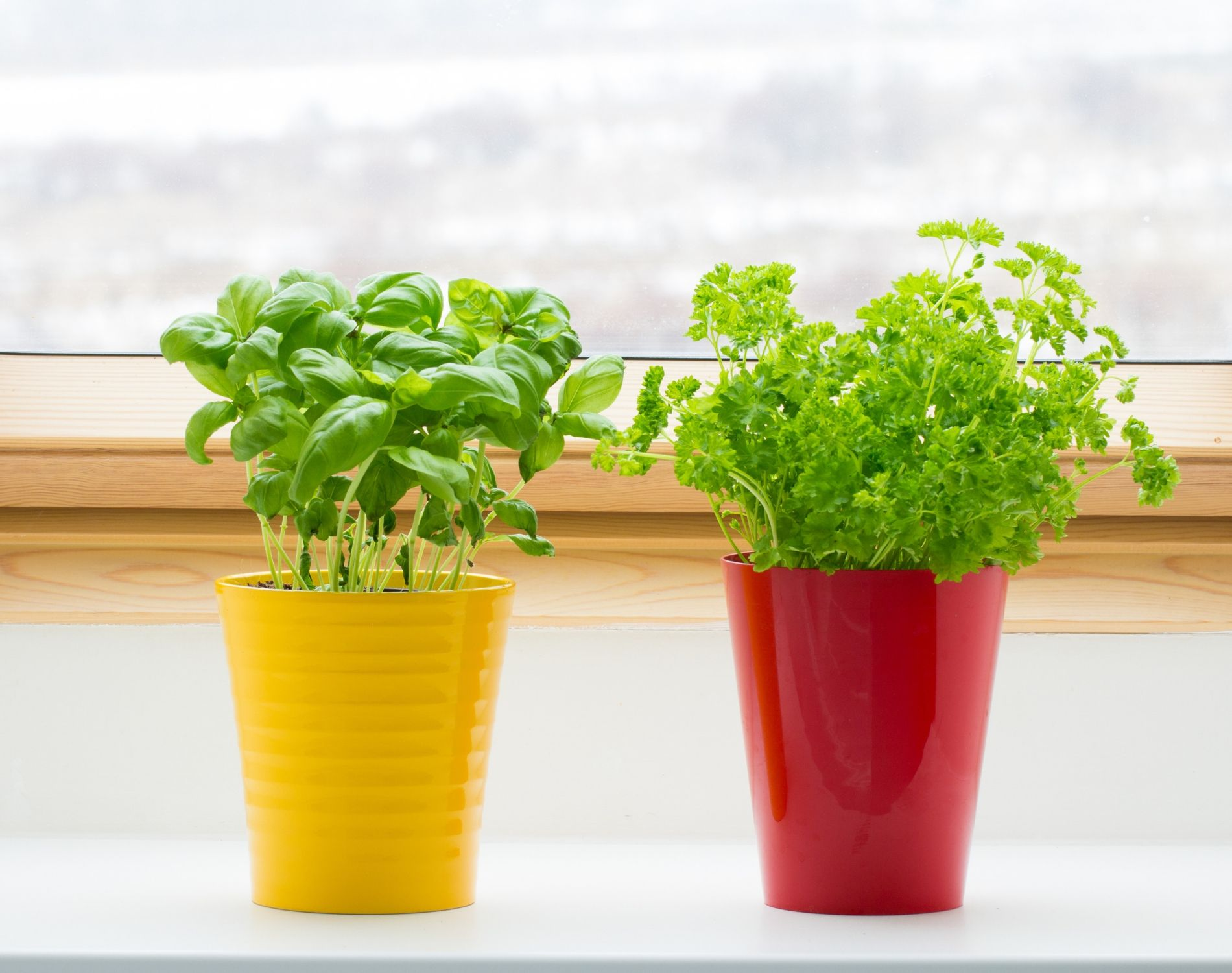 Why Indoor Herbs are Dying
