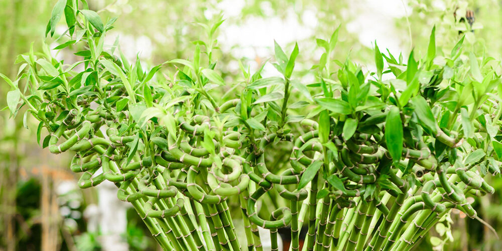 Growing Lucky Bamboo