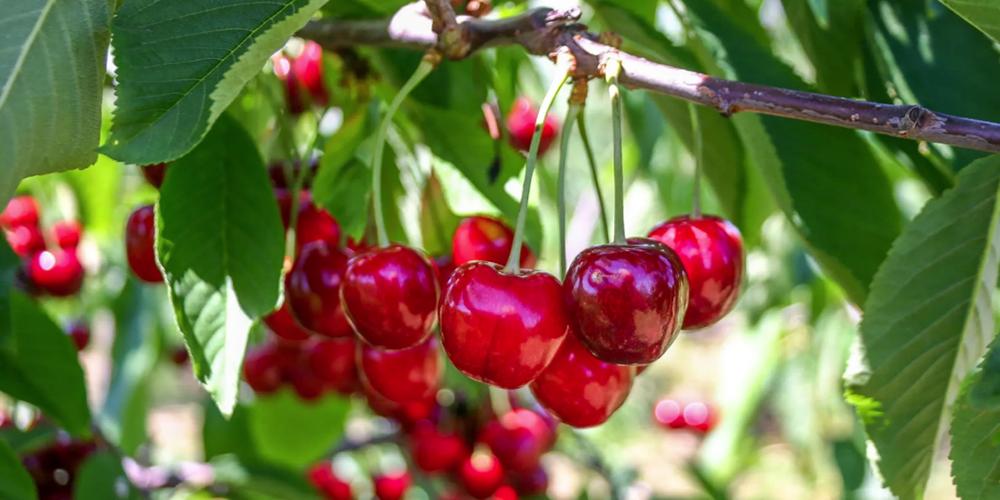 Growwing Cherries