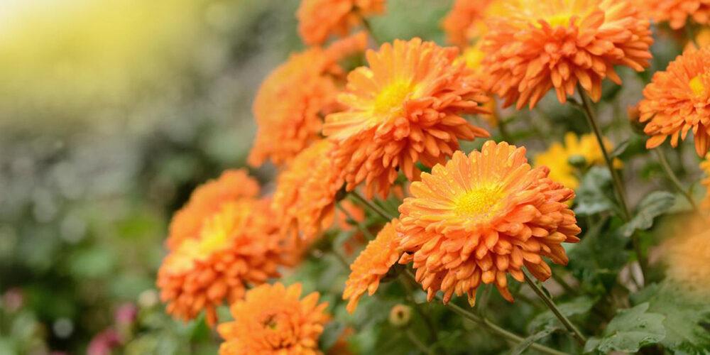 Growing Chrysanthemums