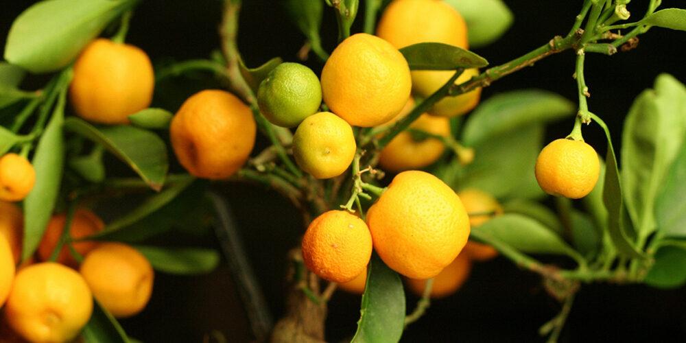 Growing Lemons and Oranges