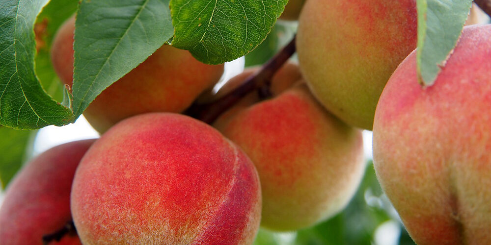 Growing Peaches