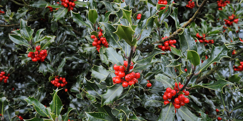 Growing American Holly