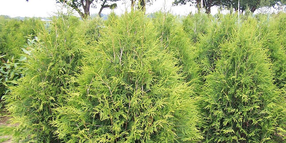 Growing Arbovitae Trees