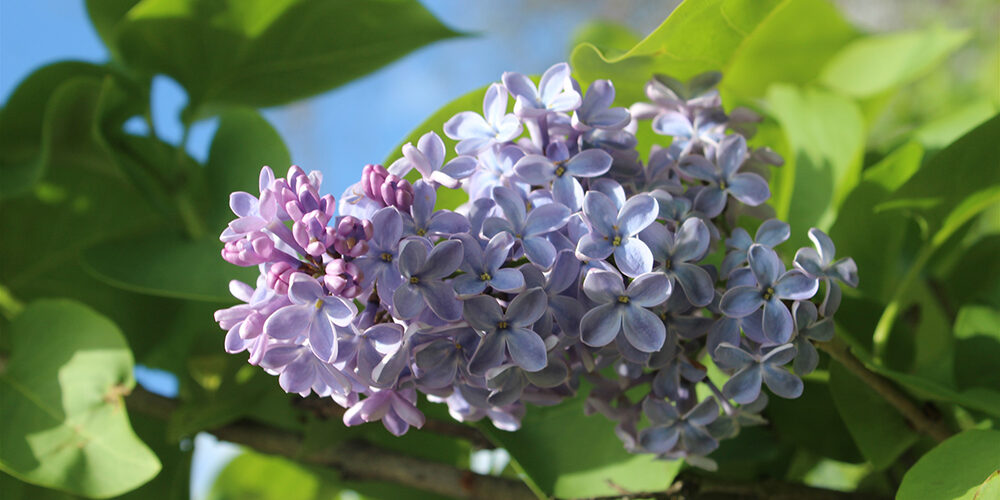 Growing Lilacs