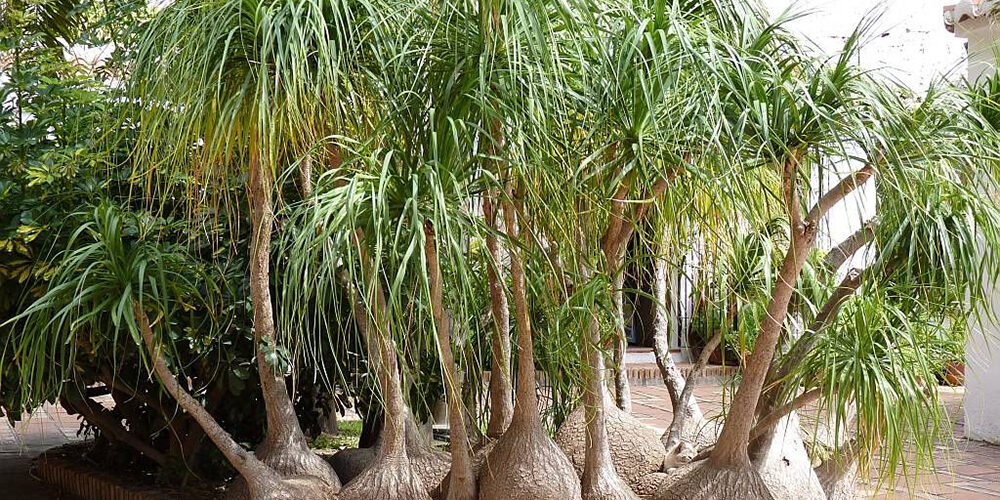Growing Ponytail Palms
