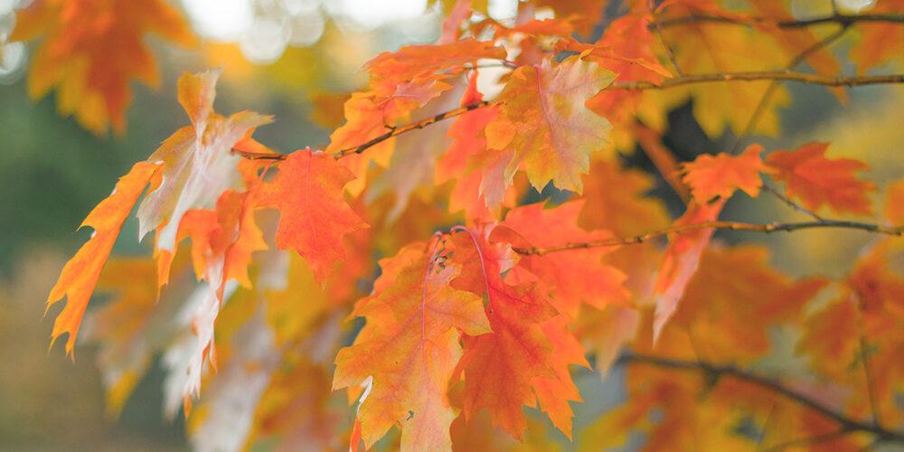 Growing Red Oak
